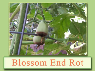 Blossom-end rot
