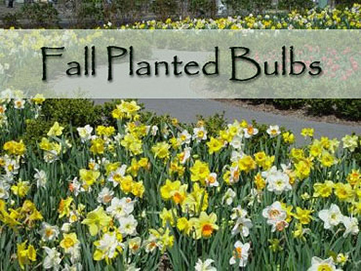 Fall Bulbs