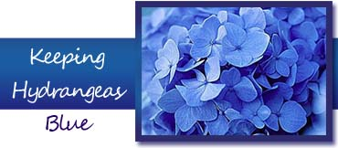 Keep hydrangeas blue