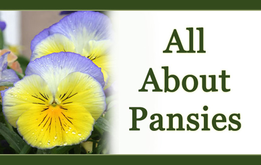 All about pansies