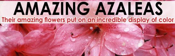 Amazing Azaleas
