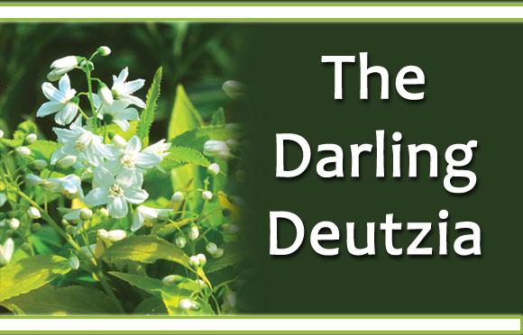Deutzia
