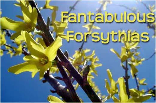 Fantabulous Forsythias