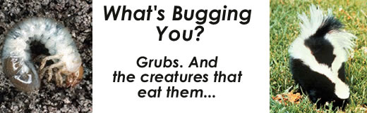 What's Bugging You?  Grubs