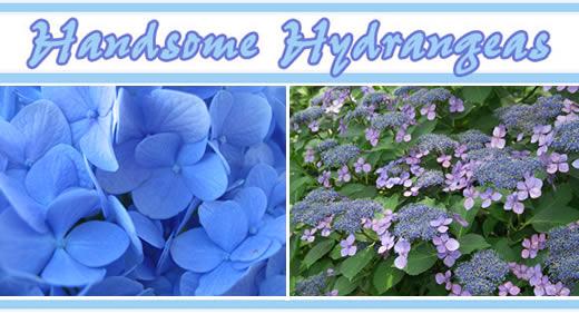 Handsome Hydrangeas