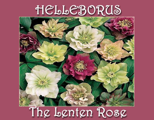 Helleborus--The Lenten Rose