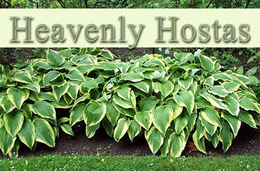 Heavenly Hostas