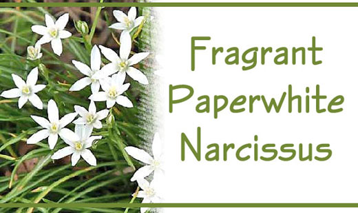 Fragrant Paperwhite Narcissus