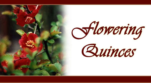 Flowering Quinces