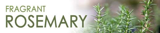 Fragrant Rosemary