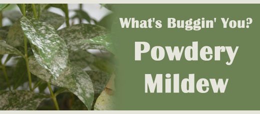 What's Bugging You? Powdery Mildew