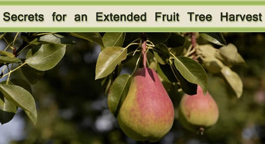 Secrets for an Extended Fruit Tree Harvest