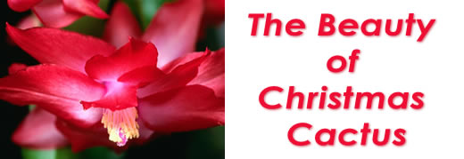 The Beauty of Christmas Cactus
