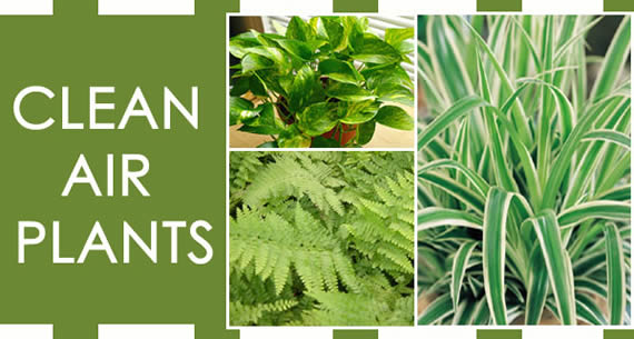 Plants for cleaner air