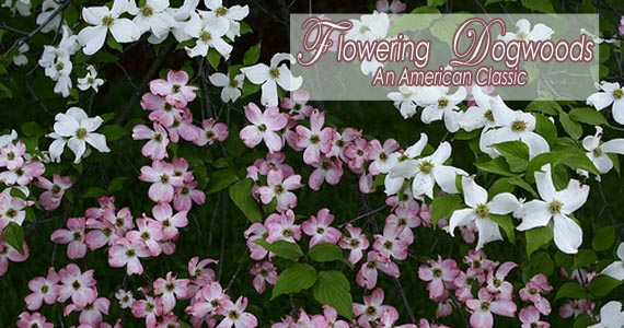 Flowering Dogwoods