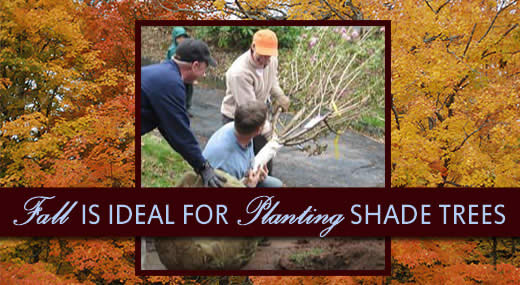 FALL IS IDEAL FOR PLANTING SHADE TREES