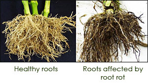 Root rot photos
