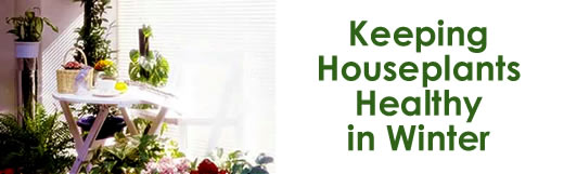 Keeping Houseplants Healthy in Winter