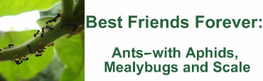 Best Friends Forever:Ants with Aphids, Mealybugs and Scale