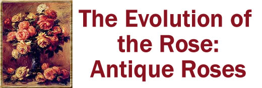 The Evolution of the Rose--Antique Roses