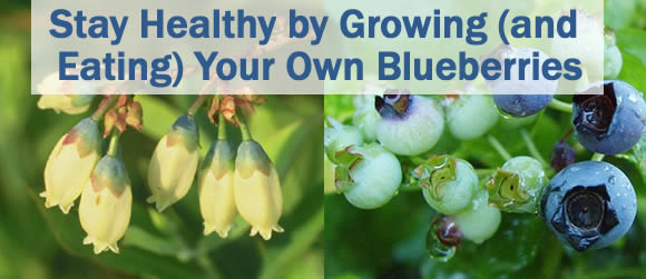 Stay Healthy by Growing (and Eating) Your Own Blueberries