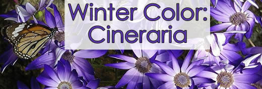 Winter Color: Cineraria