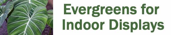 Evergreens for Indoor Displays